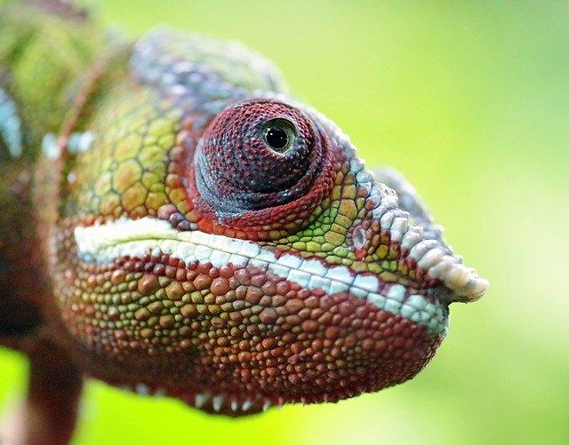hlava chameleóna