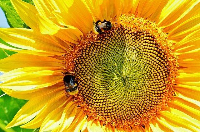 slunečnice a čmeláci.jpg