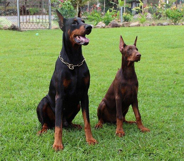 Štíhlí černí psi jako profesionální hlídači